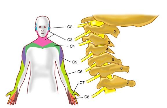 cervical-nerves
